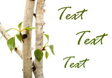 Twig and green leaf frame isolated  white Royalty Free Stock Photography