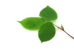 Twig with green leaves Stock Images