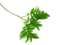 Twig with green leaves Stock Photography