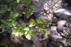 Twig with green leaves above a mountain creek. Twig with green leaves and rays of sunlight above a blurry mountain creek Stock Photography
