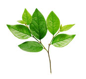 Twig with green leaves Royalty Free Stock Image