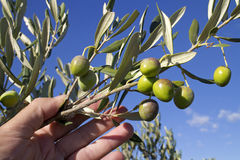 Twig with green olives Stock Photo