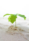 Twig growing in sand. Royalty Free Stock Photo