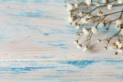 Twig Gypsophila of small white flowers close-up on blue shabby wooden background. Twig of small white flowers close-up on a blue wooden  shabby background with Stock Photos
