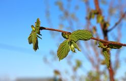 Sprig of hazel with fresh young green leaves in spring. Twig of hazel with fresh young green leaves in spring. Leaves are highlighted by the sun Stock Image