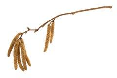 Twig of hazelnut tree with flowers Royalty Free Stock Photos