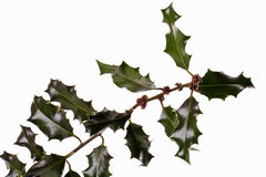 Twig of a holly Royalty Free Stock Photos