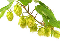 Twig of hop Royalty Free Stock Photo