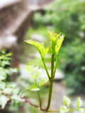 Twig of Ivy. Top in the green  blurrred background Royalty Free Stock Image