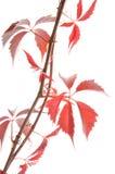 Twig ivy vine Stock Photo