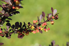 Twig of Japanese barberry Royalty Free Stock Photo
