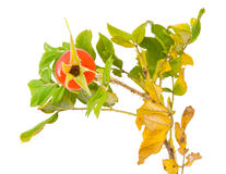 Twig of a Japanese rose with a rose hip Stock Images