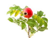 Twig of a Japanese rose with a rose hip stock photo