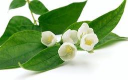 Twig of jasmine Stock Photo
