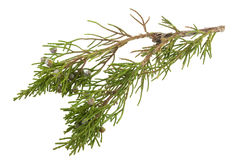 Twig of juniper with old berries Stock Photography