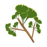 Twig with leaves of ginkgo biloba. Stock Photo