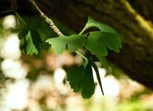 Twig with leaves of Ginkgo Biloba Stock Photo