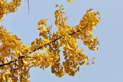 Yellow Ginkgo Leaf. Twig with leaves of Ginkgo Biloba in shunshine in early Winter. Southern China Stock Photos