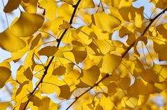 Yellow Ginkgo Leaf. Twig with leaves of Ginkgo Biloba in shunshine in early Winter. Southern China Stock Photography