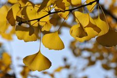 Yellow Ginkgo Leaf. Twig with leaves of Ginkgo Biloba in shunshine in early Winter. Southern China Royalty Free Stock Photography