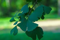 Twig with leaves Ginko Biloba stock photo