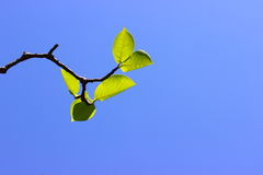 Twig Royalty Free Stock Image