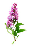 Twig of lilac Royalty Free Stock Images