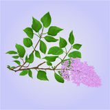Twig Lilac  with flowers and leaves vector Stock Photos