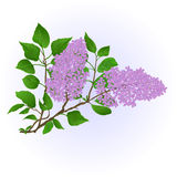 Twig Lilac with flowers and leaves vintage hand draw natural background vector Stock Photography