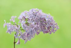 Twig of lilac Royalty Free Stock Photos