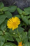 Twig marigold or Calendula officinalis flower with bloom in the floral garden Stock Photos