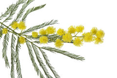 Twig of mimosa Stock Photos