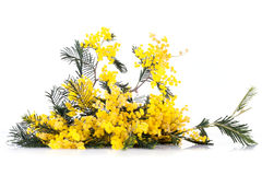 Twig Of Mimosa Flowers Stock Photo