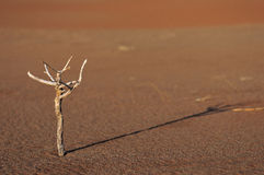 Twig in the namib Royalty Free Stock Photography