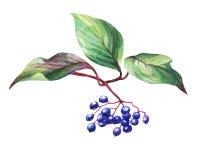 Free Twig Of Elderberry Sambucus Nigra Plant With Autumn Leaves And Black Berries. Stock Photo - 81858610