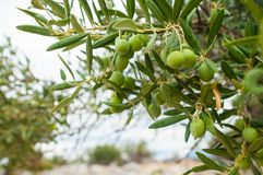 twig of an olive tree in the rain Stock Images