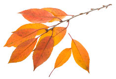 Twig with orange leaves. On white background Stock Photography
