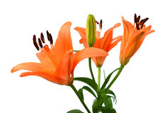 Twig of orange lily flowers. Flower of lily with buds on a white background Royalty Free Stock Image