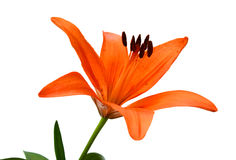Twig of orange lily flowers. Flower of lily with buds on a white background Stock Photos