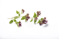 A twig of Oregano. On a white background Royalty Free Stock Images