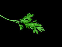 Twig of parsley Royalty Free Stock Image