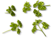 Twig of Parsley on white Stock Images