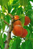 Twig of peach tree with ripe fruit