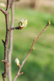 Twig pear with flower buds Royalty Free Stock Photography