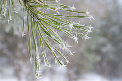 Twig of pine hoar-frost covered Stock Photo