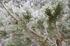 Twig of pine hoar-frost covered Stock Image