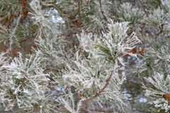 Twig of pine hoar-frost covered Stock Images
