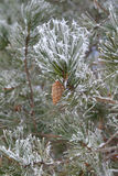 Twig of pine hoar-frost covered Stock Photos