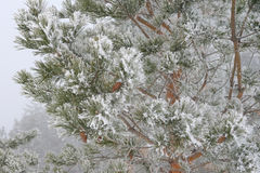 Twig of pine hoar-frost covered Royalty Free Stock Image