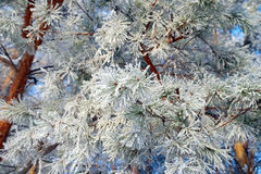 Twig of pine hoar-frost covered Royalty Free Stock Photos